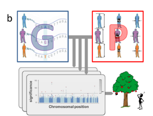 Standard GWAS for multiple phenotypes.png